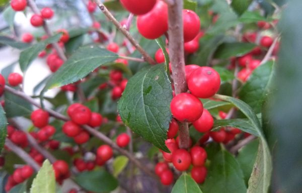 Winterberry, Little Goblin 'Orange'