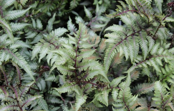 Fern, Japanese Painted 'Godzilla'