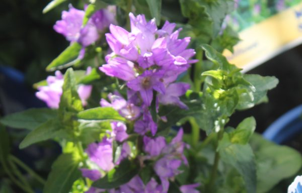 Bellflower 'Freya'