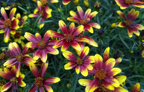Tickseed, Honeybunch™ 'Red And Gold'