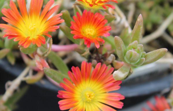 Ice Plant 'Fire Wonder'