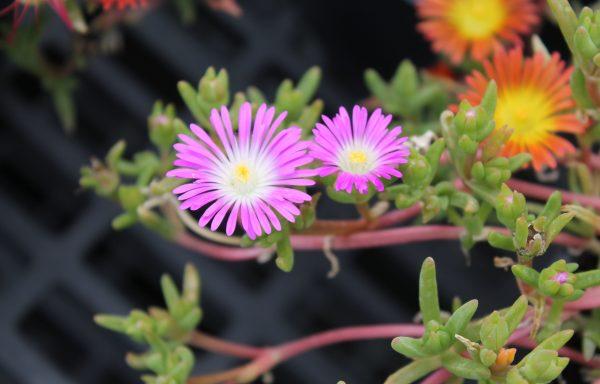 Ice Plant, Wheels Of Wonder™ 'Violet Wonder'