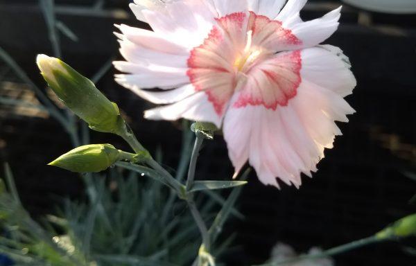 Dianthus, American Pie 'Georgia Peach'