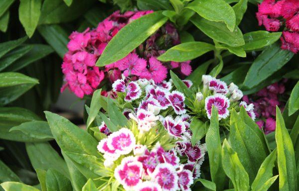 Dianthus, Barbarini 'Mix'