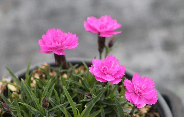 Dianthus,  Mt. Frost 'Pink Pom Pom'