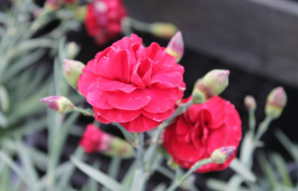 Dianthus, Scent First™ 'Passion'