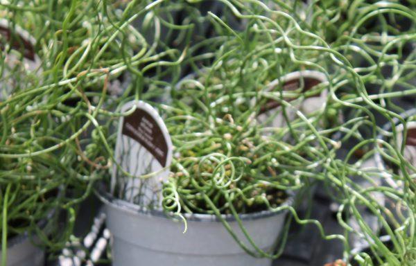 Grass, Corkscrew Rush 'Big Twister'