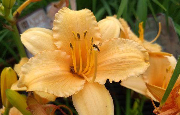 Daylily 'Apricot Sparkles'
