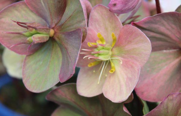 Lenten Rose 'Shooting Star'