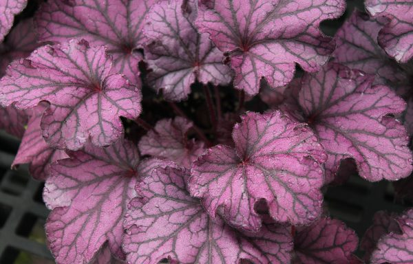 Coral Bells, Forever® 'Purple'