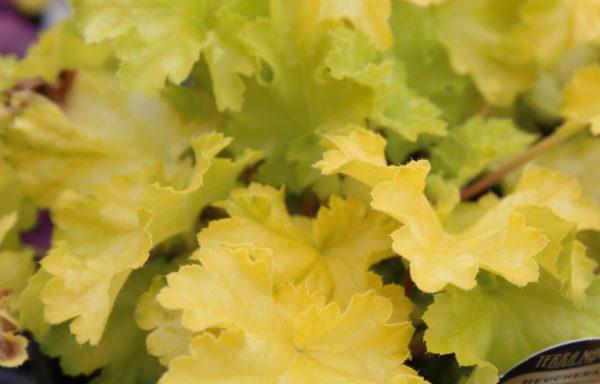 Coral Bells 'Lemon Supreme'