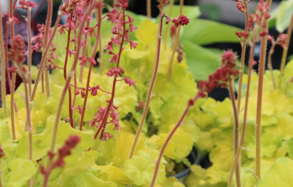 Coral Bells, Northern Exposure 'Lime'