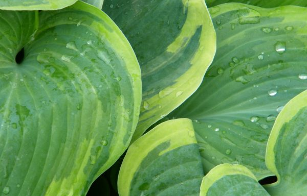 Hosta 'Earth Angel'