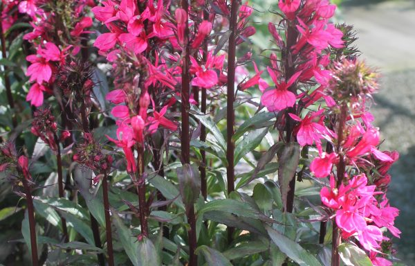 Cardinal Flower, Starship 'Deep Rose'