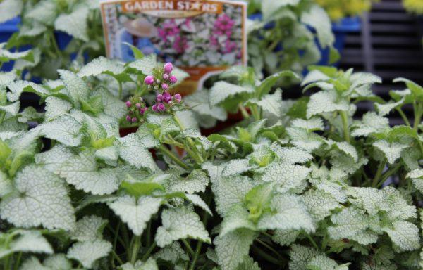Dead Nettle 'Orchid Frost'