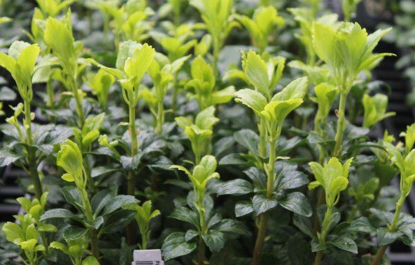 Pachysandra 'Green Sheen'