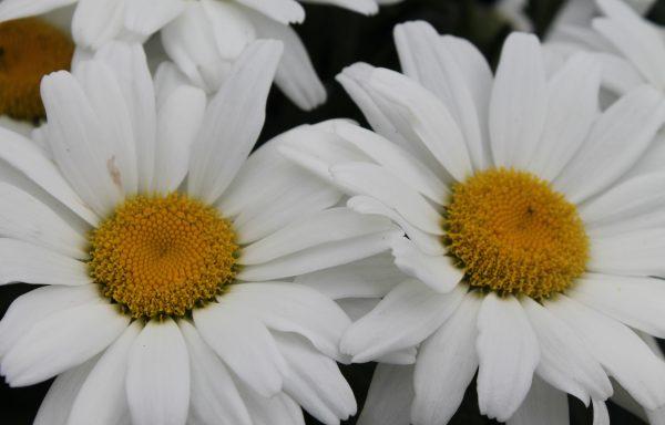 Shasta Daisy, Amazing Daisies™ 'Daisy May'