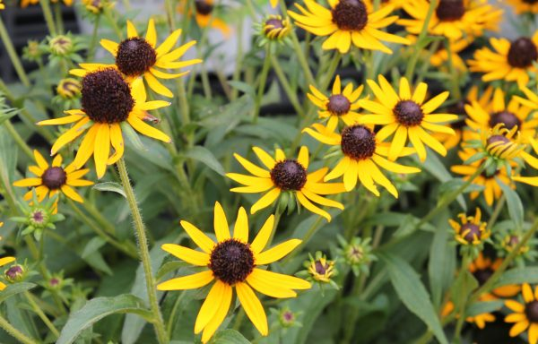 Black Eyed Susan 'Little Goldstar'
