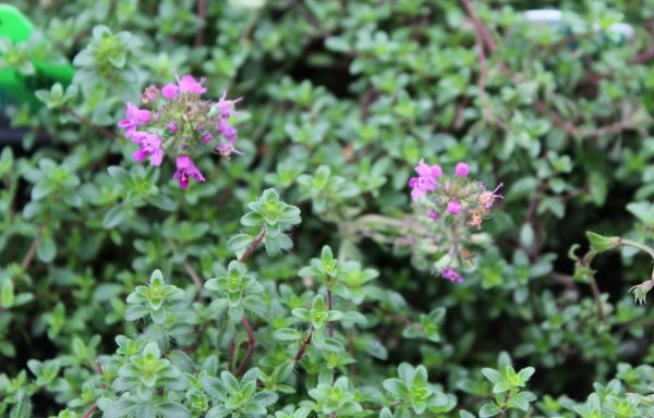 Thyme 'Red Creeping'