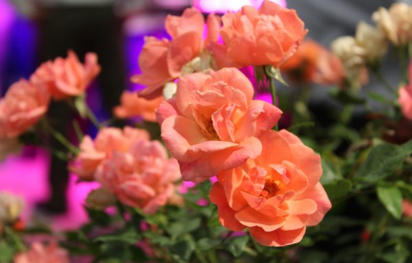 Rose, Knock Out® 'Coral'