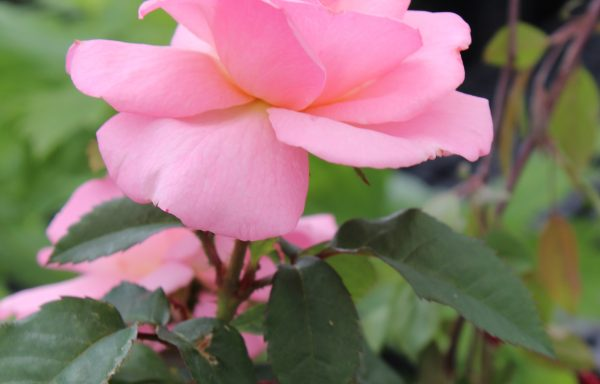 Rose, Knock Out® 'Peachy'