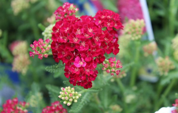 Yarrow 'Pomegranate'