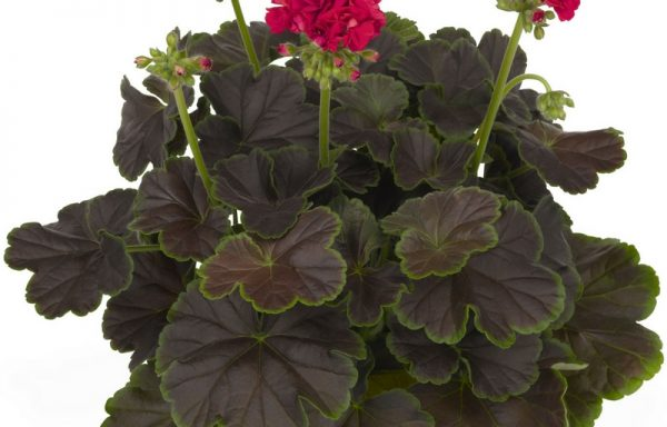 Geranium, Zonal 'Brocade Cherry Night' (AAS Winner)