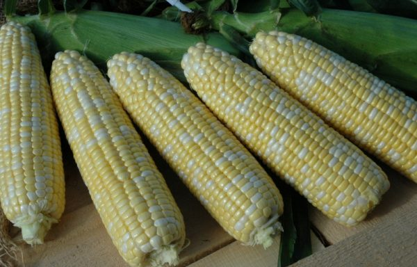 Sweet Corn 'Sweet American Dream' – (AAS Winner