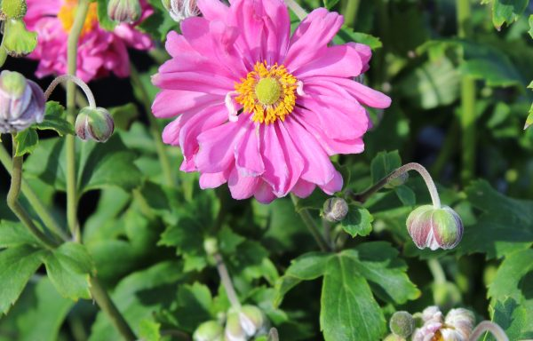 Anemone, Curtain Call 'Deep Rose' – (New For 2019)