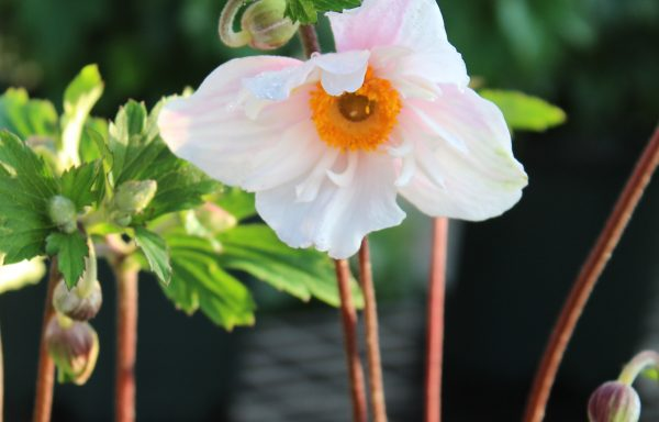 Anemone 'Dainty Swan'