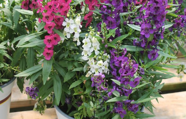 Angelonia, Archangel 'Tricolor'