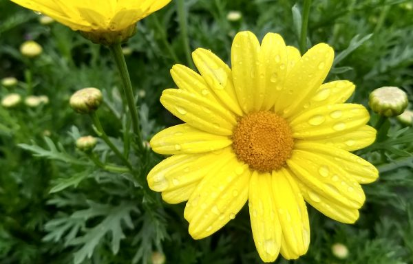 Argyranthemum 'Golden Butterfly'