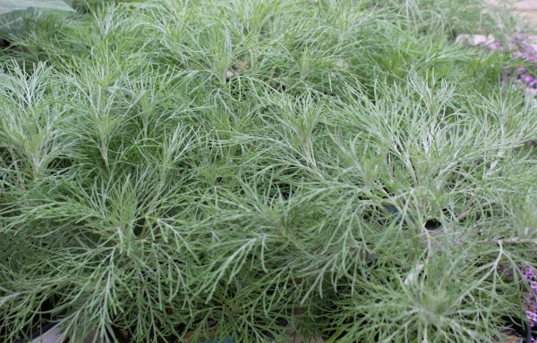 Artemisia 'Makana Silver'