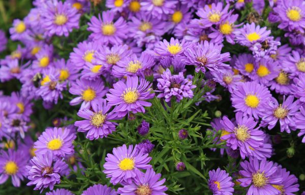 Aster, Kickin™ 'Lilac Blue'