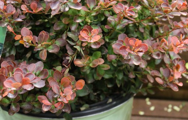 Barberry, Worry Free® 'Crimson Cutie®'