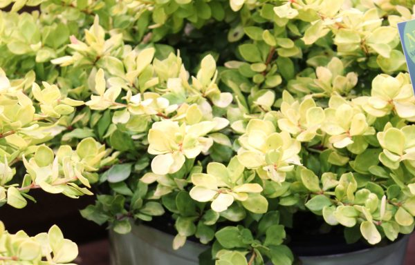 Barberry, Worry Free 'Lemon Glow'