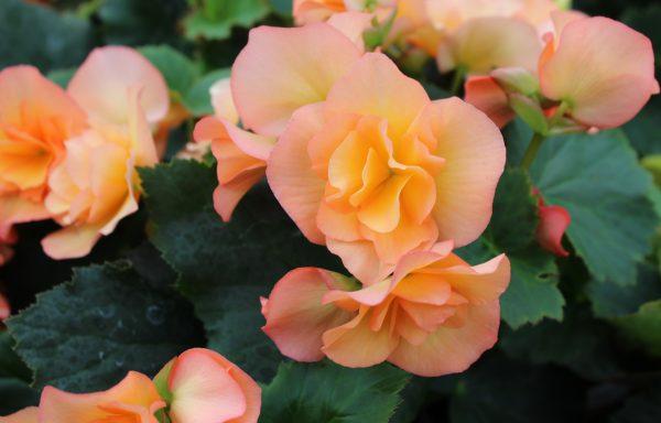 Begonia, Solenia 'Apricot'
