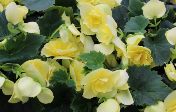 Begonia, Solenia 'Yellow Improved'