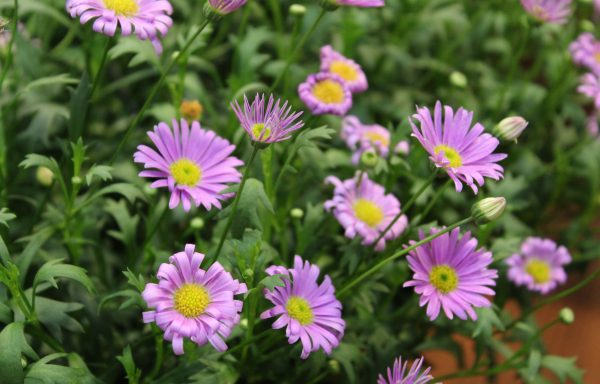 Brachyscome 'Fresco Purple'