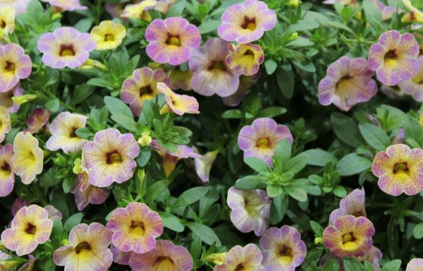 Calibrachoa, Chameleon 'Blueberry Scone'