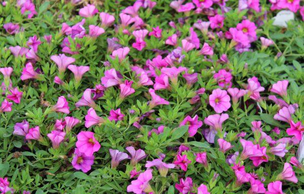 Calibrachoa, Minifamous 'Neo Pink'