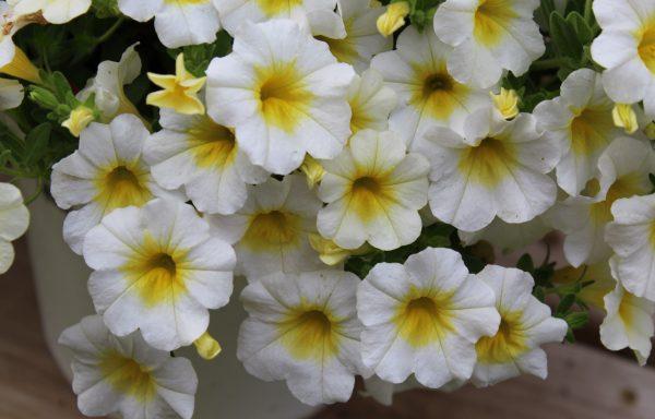 Calibrachoa, Minifamous 'Neo White'