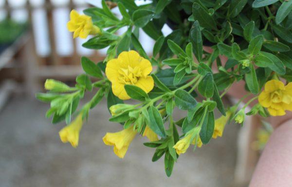 Calibrachoa, Minifamous Double 'Deep Yellow'