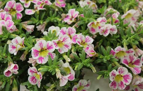 Calibrachoa, Superbells 'Holy Cow'