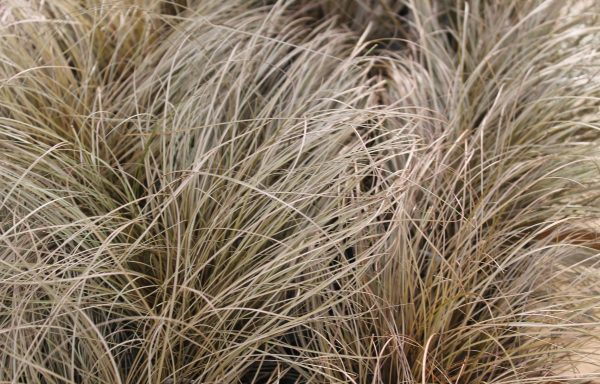 Grass, Sedge 'Toffee Twist'