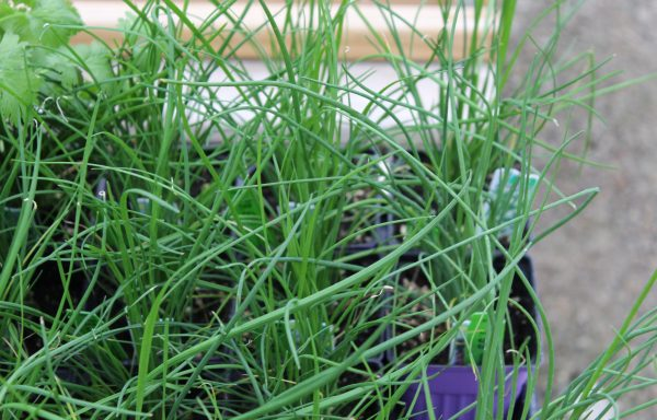 Chives 'Garlic'