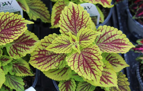 Coleus, ColorBlaze 'Golden Dreams'