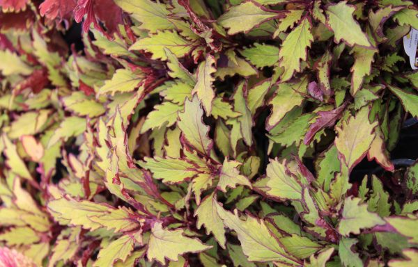 Coleus, Flamethrower 'Spiced Curry'