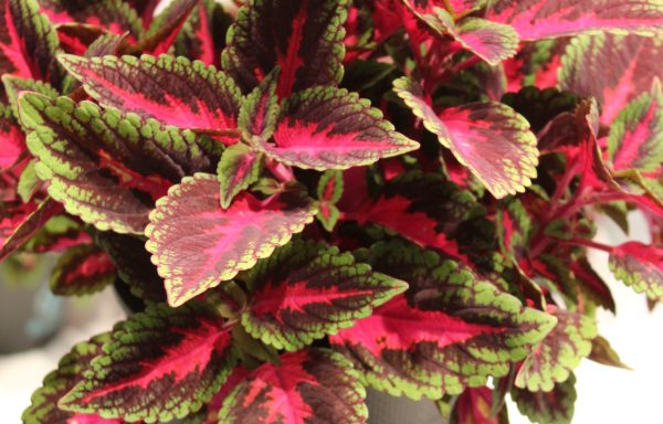 Coleus, Mainstreet 'Ruby Road'