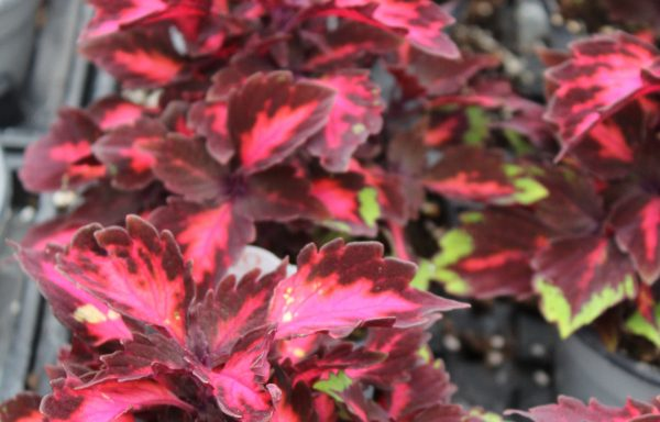 Coleus, Stained Glassworks 'Royalty'